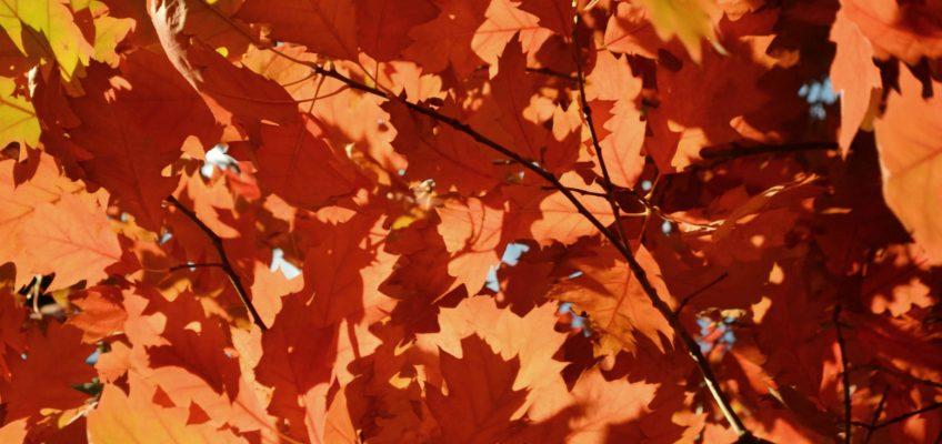 Hojas de otoño. Bariloche en otoño