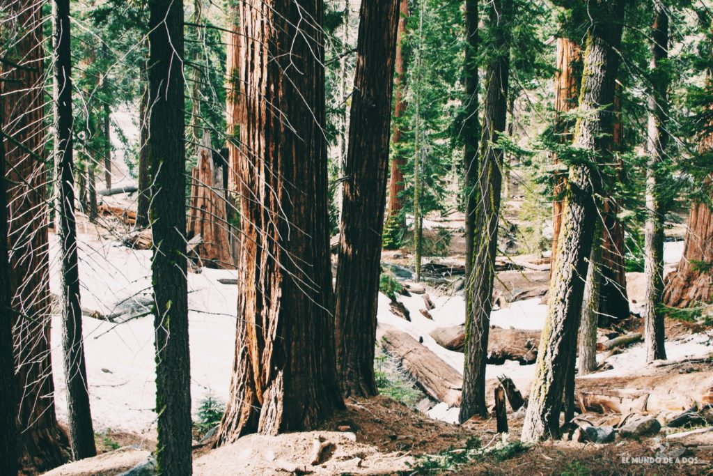 Recorriendo el bosque gigante #2. Parque Nacional de las Secuoyas