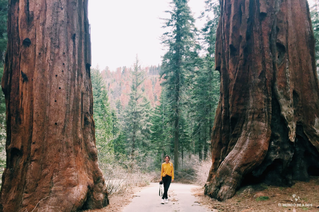 Pequeña entre gigantes. Parque Nacional de las Secuoyas
