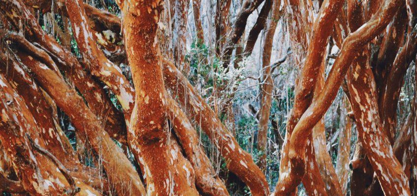 El bosque de arrayanes. Isla Victoria y bosque de arrayanes.