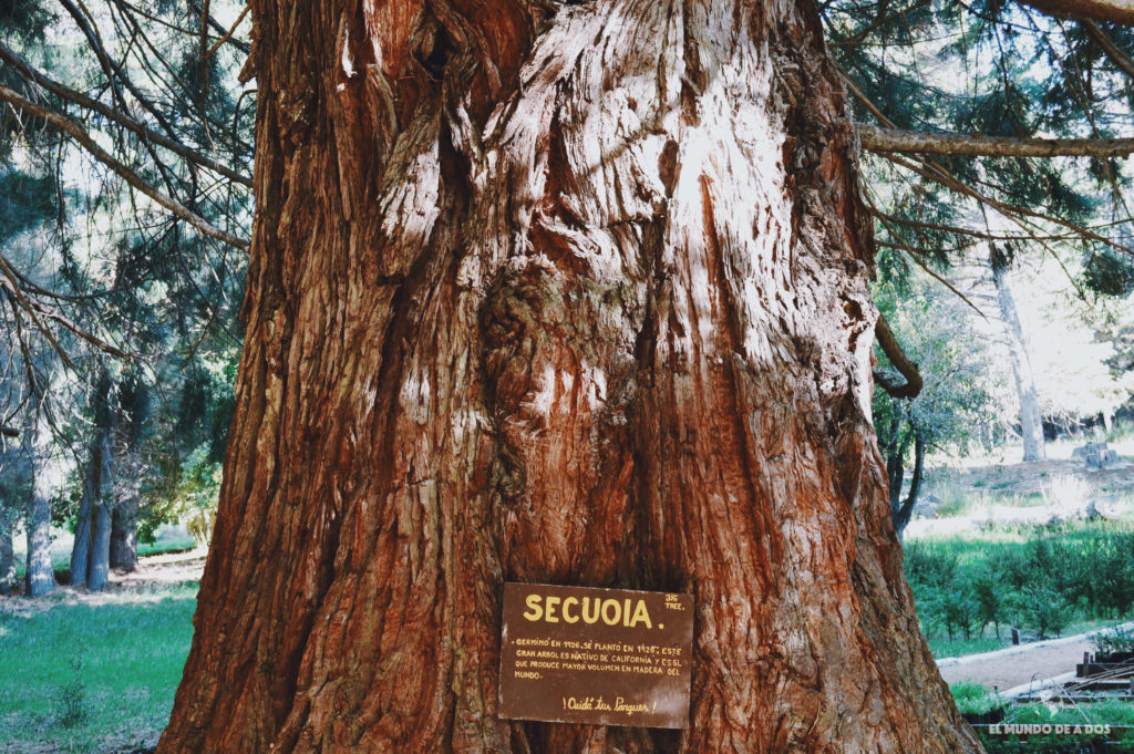 Secuoya gigante en la isla Victoria. Isla Victoria y Bosque de Arrayanes.