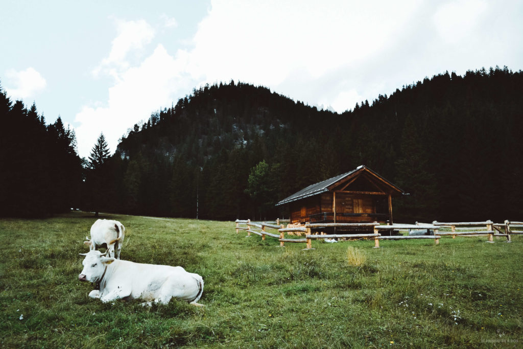 Vacas blancas en los Dolomitas. Lago Sorapis