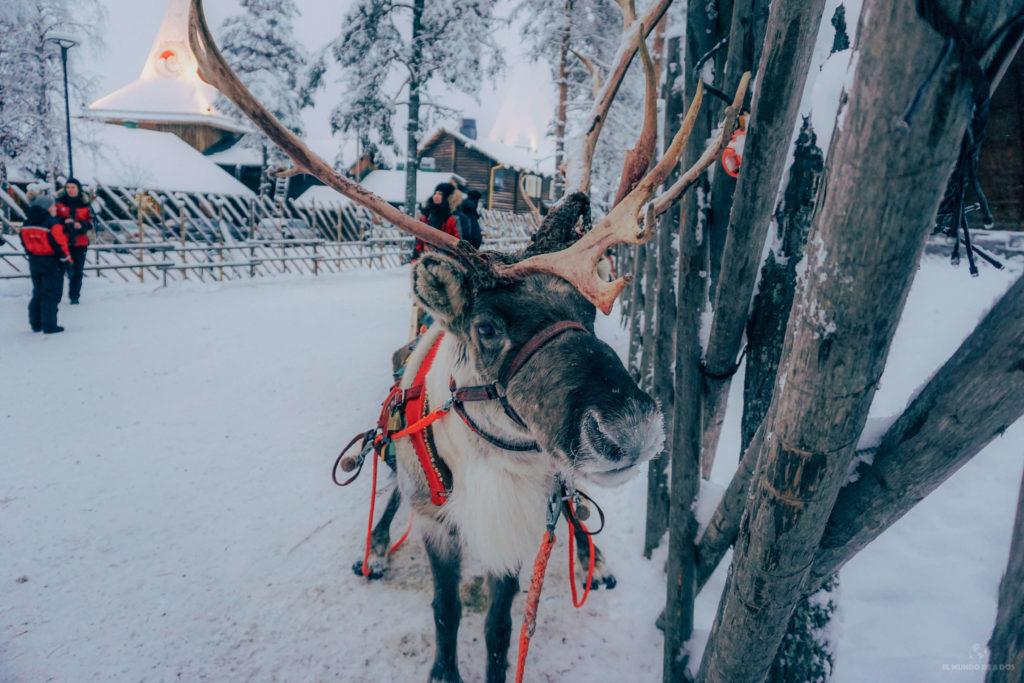 Reno en la Santa Claus Village. Que ver en Laponia en invierno