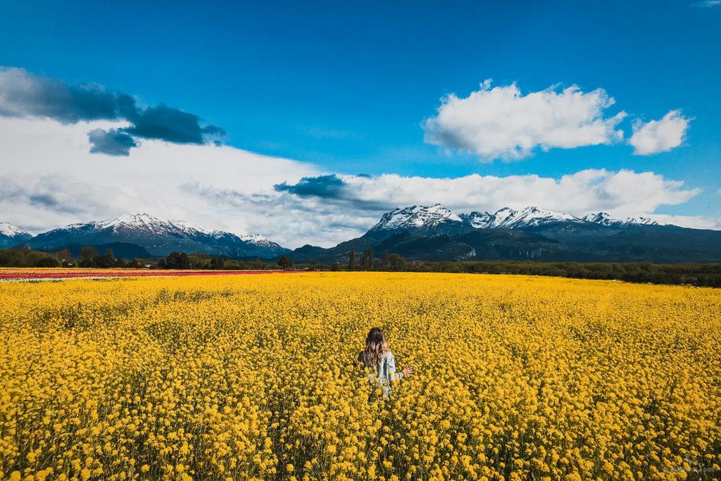 Un mar amarillo. Campos de tulipanes en Trevelin